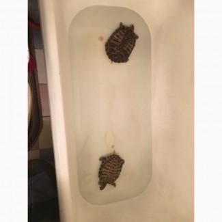 Отдам черепах