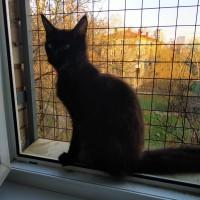 Подрощеные котята Мейн Кун