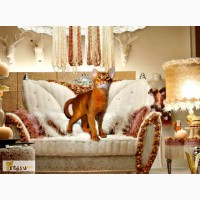 Абиссинский кот зовет на вязку