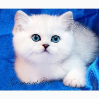 Британские котята с голубыми и сапфировыми глазками