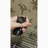 Крыски капюшонники