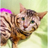 Интересный котик-бенгал Дядюшка Поджер ищет дом