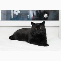 Роскошный кот-бегемот Франт ищет дом