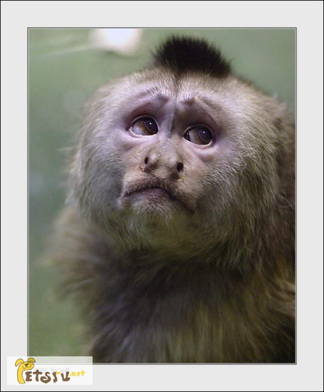 Фото 1/1. Продаю обезьянку капуцин