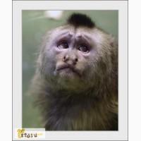 Продаю обезьянку капуцин