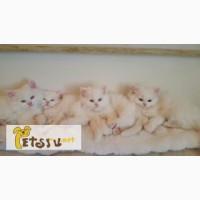 Сибирские белые котята
