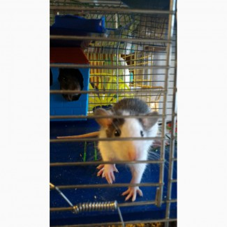 Декоративные крыски