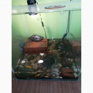 Красноухие черепахи 3шт