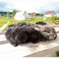 Немецкая ангора, крольчата