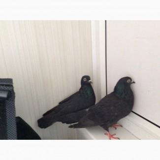 Два голубя метисы чайки