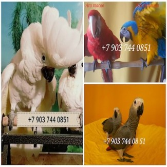 Ручные птенцы попугаев ара, какаду, жако, амазон