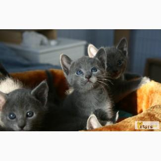 Русские голубые котята в Самаре
