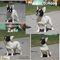 Французский бульдог подрощенный щенок