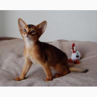 Абиссинские котята американских линий мальчики