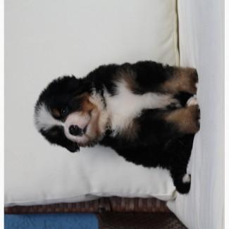 Продам щенков бернского зененхунда
