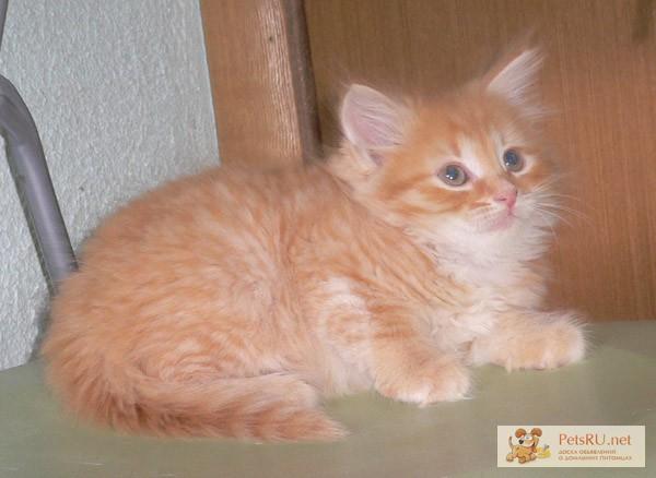 сибирские коты фото рыжие