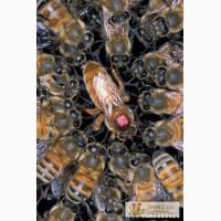 Продаю пчел,пчелопакеты,пчелосем ьи.