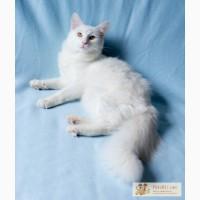 Красивый ангорский кот в дар