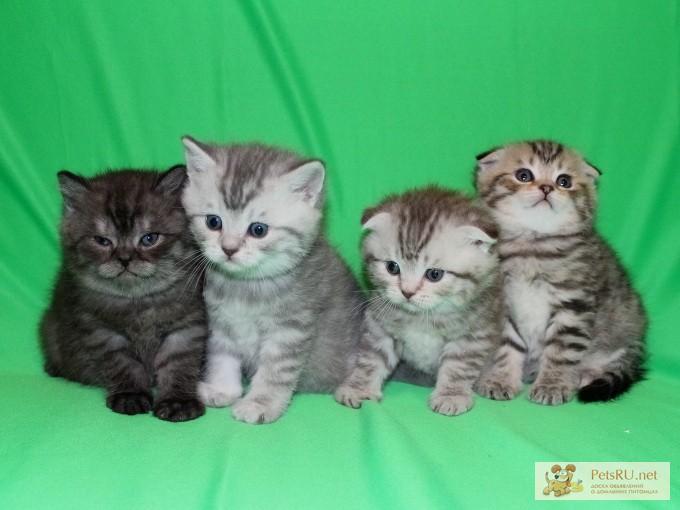 Фото 1/3. Шотландские котята ArtsFamily Помёт П
