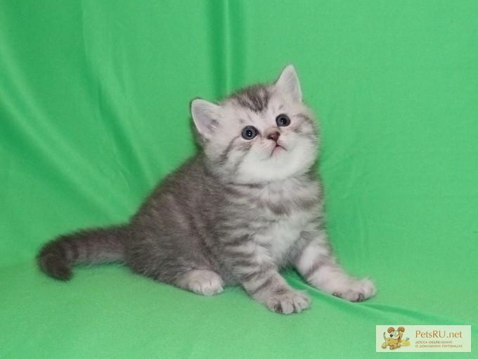 Фото 2/3. Шотландские котята ArtsFamily Помёт П