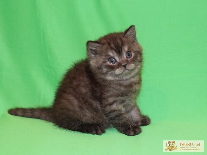 Фото 3/3. Шотландские котята ArtsFamily Помёт П