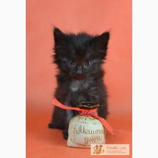 Норвежская лесная кошка - чёрный дым