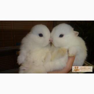 Крольчата Голубоглазые Гермелины ( горностаевые )