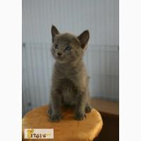 Котята Русской голубой породы в Саранске