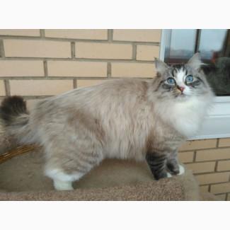 Невский маскарадный котик
