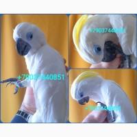 Ручные птенцы 4 мес синеочковый какаду из питомника