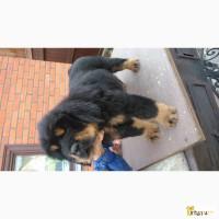 Тибетского мастифа щенков