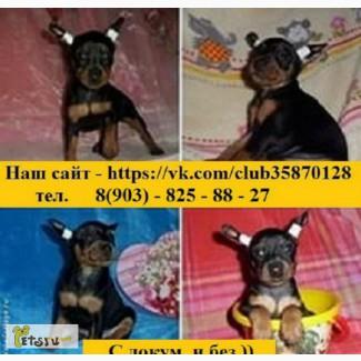 Продаю щеночков карликового пинчера в Костроме