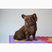 Чихуахуа щенки Шоколадные и бело шоколадные малыши есть Крем