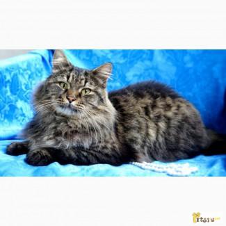 Роскошный сибирский кот Кеша хочет домой