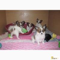 Папийона (папильона) щенки