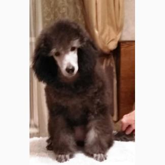 Породистый щенок(девочка) малого серебристого пуделя
