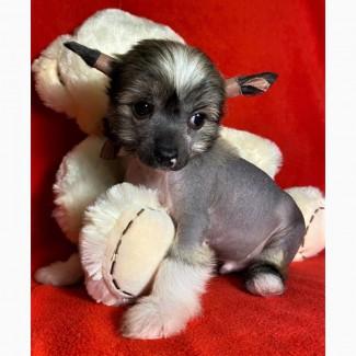 Щенок Маленький принц китайской хохлатой собаки