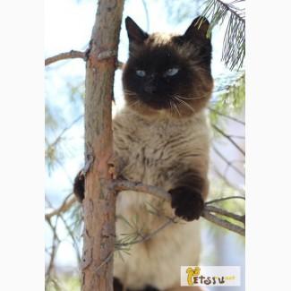 Сиамский кот в добрые руки