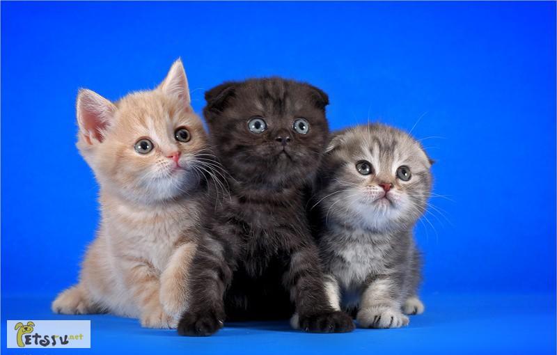 все о шотландских котятах в картинках сметане