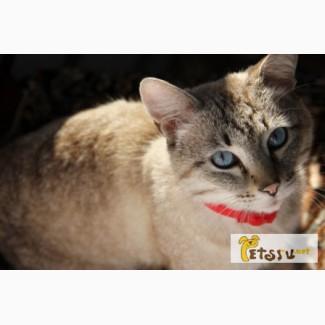 Отдам кота Тайской породы