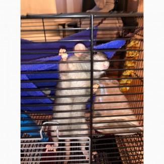 Крысы-дамбо отдам в хорошие руки