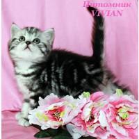 Британские клубные котята черный мрамор на серебре, вискас