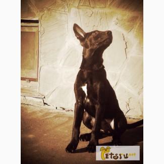 Мальчик мексиканской голой собаки(стандарт) в шерсти, Москва