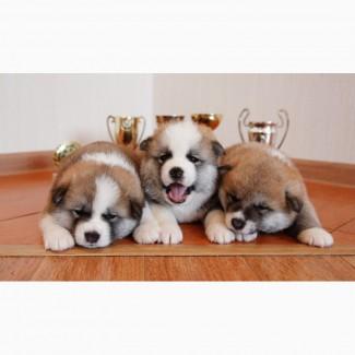 Продаються щенки акита-ину от чемпионов