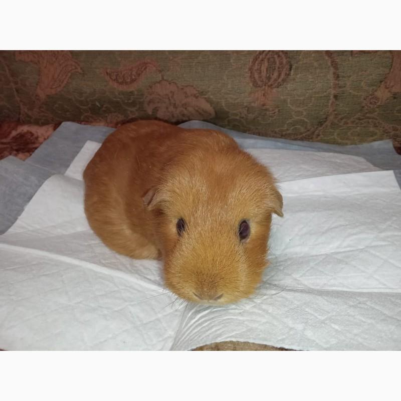 Фото 2/2. Морская свинка американский тедди