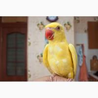 Ожереловый попугай самка 6 месяцев