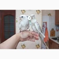 Попугай корелла ручные птенцы выкормыши