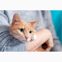 Рыженькая кошка Мамка в дар