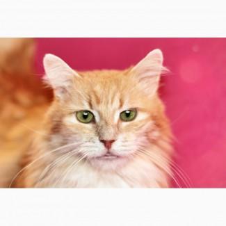 Шикарный кот Мускат ищет дом, в дар