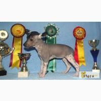 Щенок мексиканской голой собаки, Ростов-на-Дону